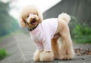 怎么护理贵宾犬毛发?